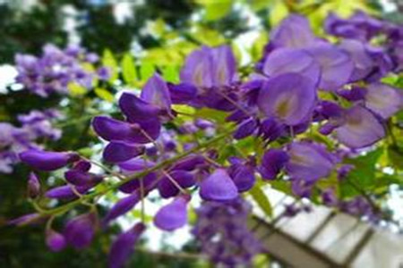 picture of potted Wisteria