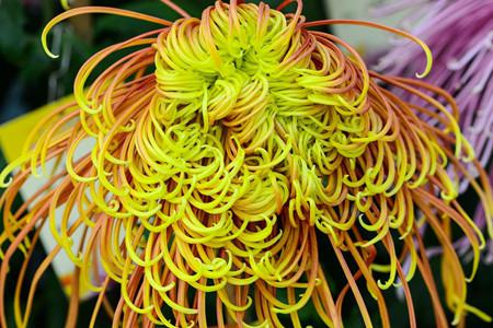 species of chrysanthemum