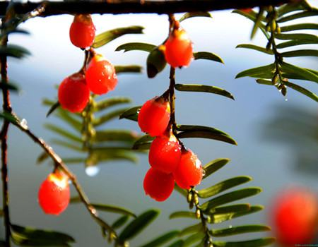 The fruit of the yew