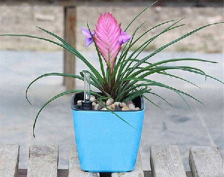 Potted Tillandsia