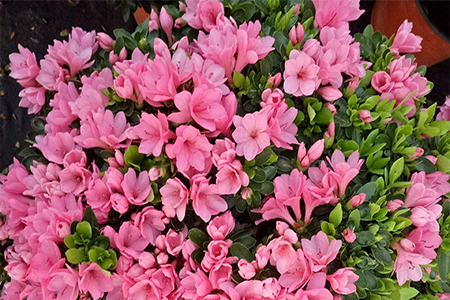 Is It Ok To Water The Azalea And Put Vinegar On It The Azalea Withers After Watering The Plant Aide